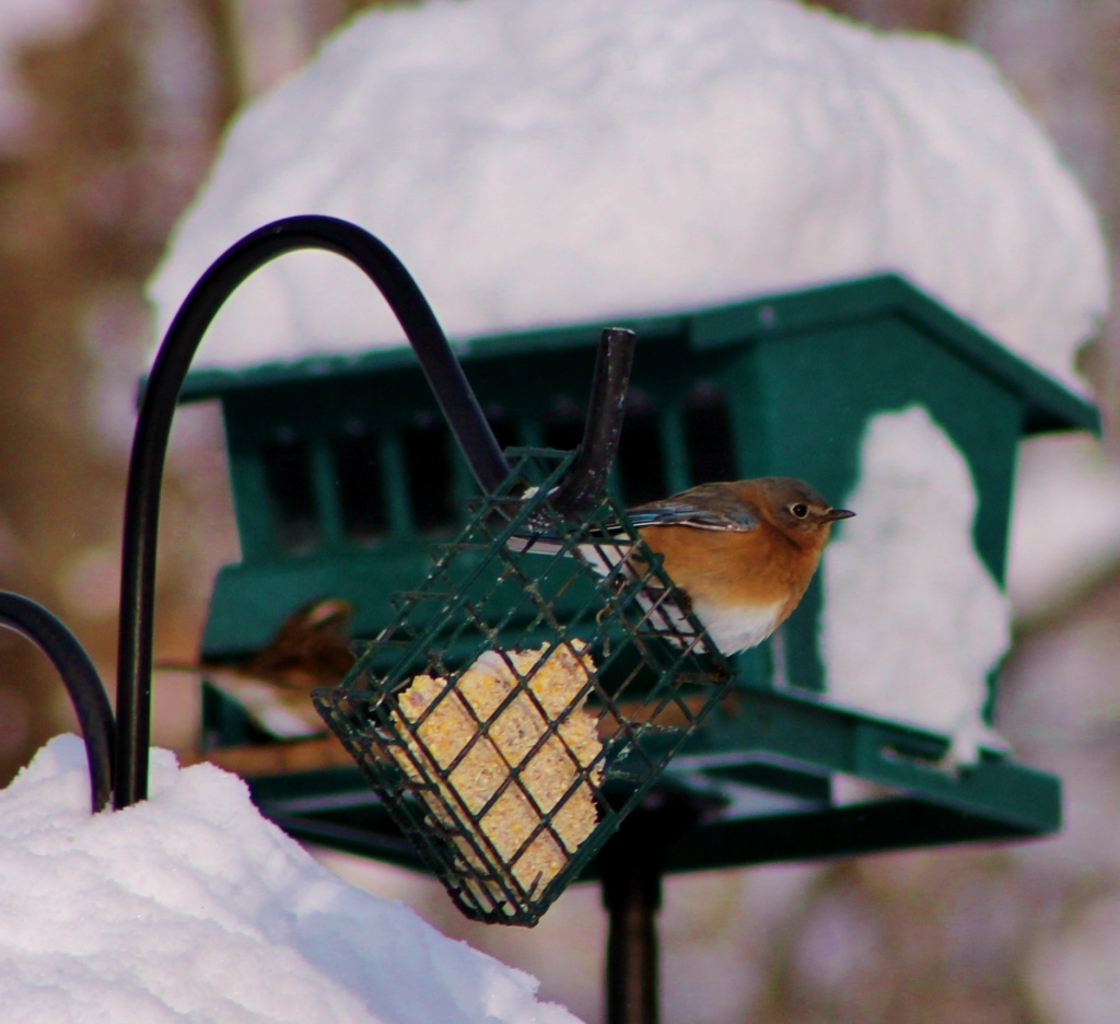 These bluebirds showed up at the winter feeder one day in January